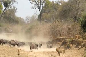 500 trâu rừng 'đụng độ' với bầy sư tử giành hố nước