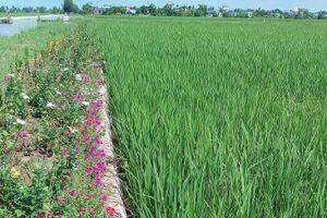 Mô hình nông nghiệp thông minh ứng phó với biến đổi khí hậu - Bài 2: Sạch đẹp nhờ ruộng lúa bờ hoa