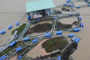 Nước lũ gây thiệt hại nặng cho người nuôi cá lồng ở Quảng Nam