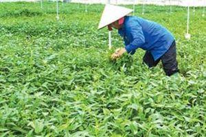 Gia Bình nhân rộng vùng trồng rau an toàn, thu nhập hàng tỷ đồng