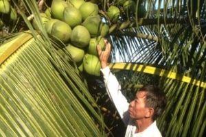 Trồng dừa trái chi chít trên ngọn, 'đút túi' 30 triệu/tháng ngon ơ