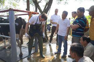 Nông dân Việt Nam và nông dân Hà Lan tập huấn kỹ thuật chăn nuôi bò sữa