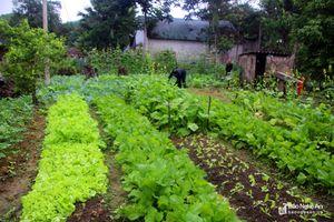Mới trồng 2 ha rau sạch nhưng bà con miền núi đã kêu khó về đầu ra