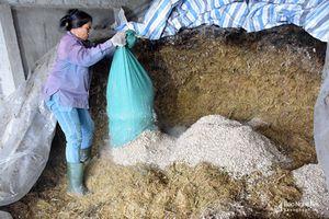 Nông dân miền núi Nghệ An chuẩn bị 'lương khô' cho bò phòng thời tiết rét đậm