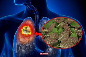 Thực hư tác dụng bài thuốc chữa ung thư phổi từ lá rau mơ, chỉ 10 ngày là khỏi bệnh