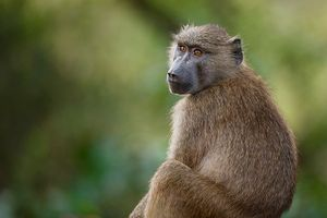 Nghiên cứu đột phá: Ghép tim lợn cho khỉ