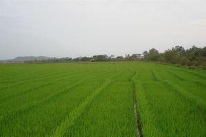 Sản xuất lúa gạo theo VietGAP
