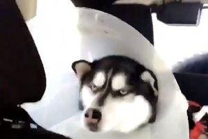 Chết cười với 'khuôn mặt đáng thương' của chú Husky hờn dỗi