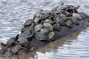 Đàn rùa chen chúc nhau bám lên lưng hà mã khổng lồ để ' đi ké' sang sông