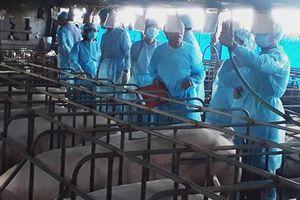 Nuôi heo sinh sản: Giảm dịch bệnh, hiệu quả kinh tế cao