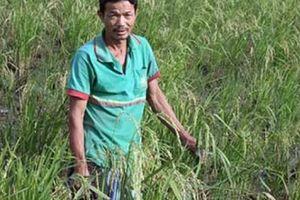 Bí ẩn thương lái mua bông lúa non, mua cả... gốc rạ để làm thuốc!