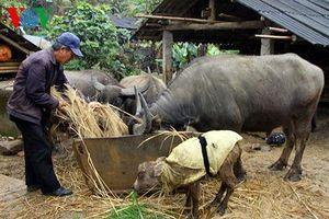 Rét đậm, rét hại kéo dài, người dân vùng núi chống rét cho gia súc