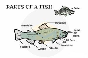 Từ vựng tiếng Anh về các bộ phận của con cá