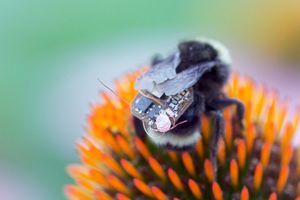 'Biến' ong lớn thành máy bay không người lái IOT