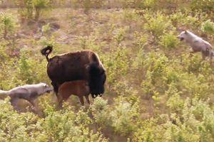Bò bison chiến đấu với đàn chó sói để bảo vệ con