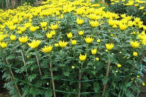 Thời gian trồng hoa để nở đúng vào dịp Tết bạn cần biết