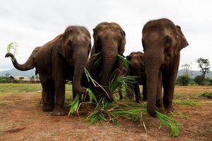 Xoa dịu tâm hồn những con voi 'đau khổ' bằng nhạc cổ điển