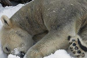Chùm ảnh cảm động của chú gấu bắc cực tại Sở thú San Diego lần đầu tiên nhìn thấy tuyết