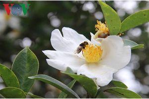 Đặc sắc mùa hoa Sở ở Bình Liêu, Quảng Ninh