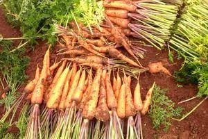 Bón NPK-S Lâm Thao cho cây cà rốt