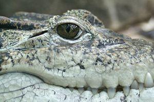 Du khách 'chết lặng' khi đánh rơi điện thoại xuống hố nhung nhúc cá sấu
