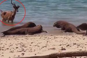Liều lĩnh chống trả rồng Komodo, hươu bị xơi tái