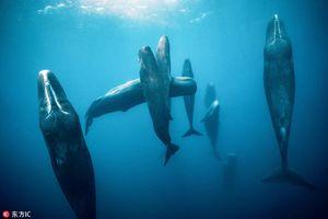 Khó tin cá voi tinh trùng ngủ đứng độc đáo dưới biển sâu