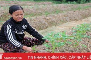 Nông dân Cẩm Vịnh trồng khoai tây đón đầu thị trường tết