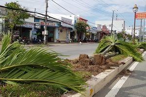 Có cần thiết phải bỏ hàng trăm cây cau cảnh giữa dải phân cách ở Sóc Trăng ?