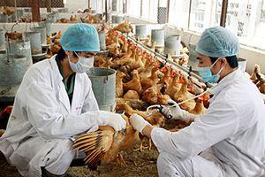 Chủ động phòng, chống dịch bệnh gia súc, gia cầm