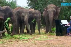Nghệ sĩ piano lão luyện đem 'đàn đánh tai voi'