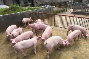 Giá heo (lợn) hơi hôm nay 20/12: Miền Bắc thấp nhất cả nước