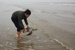 Hà Tĩnh: Thả cá thể rùa biển về môi trường tự nhiên