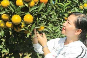 Mùa cam ngọt ở Phù Yên