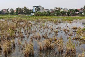 Sự cố dầu tràn ở Thanh Hóa: Cây héo rũ, cá tôm chết nổi đầy đồng
