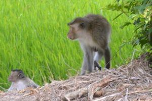 5 con khỉ đại náo làng quê ở Sóc Trăng