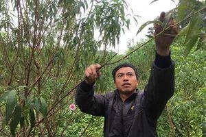 Nông dân Quảng Bình đau đáu nỗi lo vụ hoa Tết nở sớm