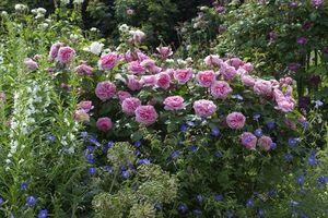 Khu vườn như thiên đường của vĩ nhân David Austin vừa qua đời