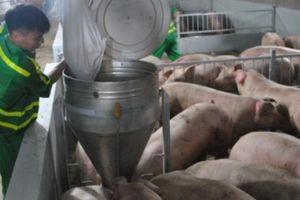 HÓT: Ở nơi lợn được nghe nhạc thư giãn trước khi bị đem... giết mổ