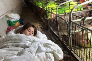Kiếm 3 tỷ đồng/năm nhờ ngủ cùng lợn suốt 3 tháng mùa đông