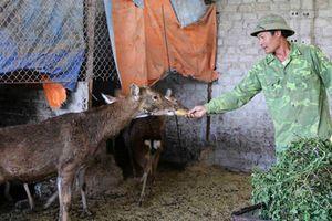 Nuôi con ăn rau rừng, uống nước lã, bán 400 ngàn đồng 1 kg thịt