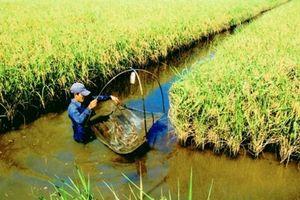 Cà Mau: Hiệu quả kinh tế từ mô hình lúa – tôm