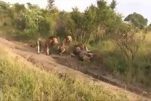 CLIP: Rợn người trước cảnh 4 con sư tử trẻ giết chết sư tử già