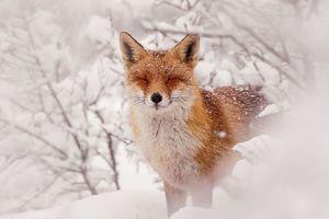 Vẻ đẹp quyến rũ đầy bí ẩn của những chú cáo dưới trời tuyết trắng
