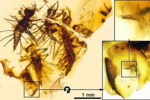 Phát hiện mảnh hổ phách 130 triệu năm tiết lộ cách trứng côn trùng cổ đại nở ra