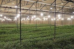 Chong đèn LED cho hoa cúc là giải pháp tối ưu tiết kiệm điện