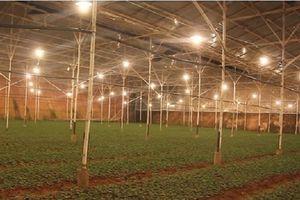Giúp nông dân tiết kiệm điện trong chong đèn hoa cúc ở Lâm Đồng
