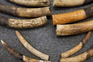 Truy tố người vận chuyển ngà voi sang Thái Lan