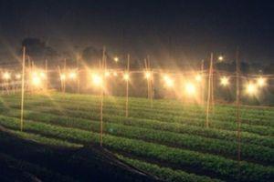 Lâm Đồng: Người trồng hoa lãng phí hàng trăm tỉ đồng tiền điện