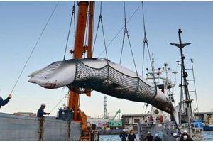 Nhật Bản muốn tiếp tục săn bắt cá voi thương mại theo 'truyền thống', bất chấp chỉ trích